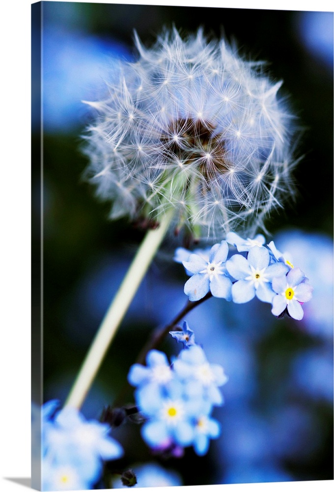 Large Gallery-Wrapped Canvas Wall Art Print 16 x 24 entitled Dandelion seed head Gallery-Wrapped Canvas entitled Dandelion seed head.  Dandelion Taraxacum officinale seed head. Each seed is topped by a parachute of fine hairs a pappus which allows them to be widely dispersed by the wind. In the background are forget-me-not flowers Myosotis sp.. Photographed in the UK.  Multiple sizes available.  Primary colors within this image include Black Gray Pale Blue Royal Blue.  Made in USA.  Satisfaction guaranteed.  Archival-quality UV-resistant inks.  Museum-quality artist-grade canvas mounted on sturdy wooden stretcher bars 1.5 thick.  Comes ready to hang.  Canvas is acid-free and 20 millimeters thick.