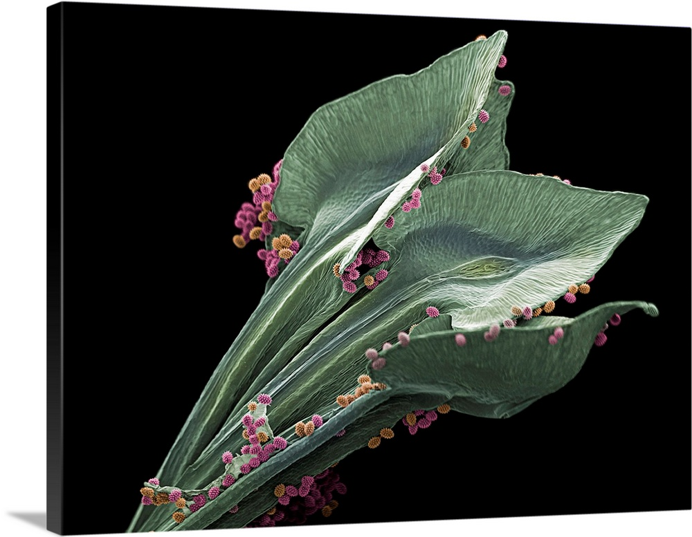 Large Solid-Faced Canvas Print Wall Art Print 40 x 30 entitled Garden Cosmos Anthers, SEM Solid-Faced Canvas Print entitled Garden Cosmos Anthers, SEM.  Coloured scanning electron micrograph SEM of pollen grains on Cosmos bipinnatus anthers. C. bipinnatus is a flowering herbaceous plant in the Asteraceae family, known commonly as garden cosmos or Mexican aster. It is a common plant of open fields and roadsides. The variably coloured flowers also make it a popular ornamental garden plant. Each flower head consists of 8 ray florets that surround numerous tiny disc florets. Each disc floret represents small, reproductive flowers. The disc floret anthers are the male reproductive parts that produce the pollen. Magnification x50 when printed at 10cm wide.  Multiple sizes available.  Primary colors within this image include Black, Gray, White.  Made in USA.  Satisfaction guaranteed.  Archival-quality UV-resistant inks.  Archival inks prevent fading and preserve as much fine detail as possible with no over-saturation or color shifting.  Canvas depth is 1.25 and includes a finished backing with pre-installed hanging hardware.