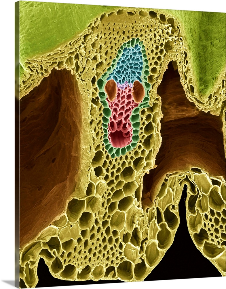 Large Solid-Faced Canvas Print Wall Art Print 24 x 30 entitled Grass stem, SEM Solid-Faced Canvas Print entitled Grass stem, SEM.  Grass stem. Coloured scanning electron micrograph SEM of a section through a grass stem family Graminaceae. At upper centre is the vascular bundle, which consists of phloem blue and xylem tissue. Xylem is composed of annular tracheids red, pitted vessels brown, fibrous tracheids purple and an intercellular space round, bottom. The xylem transports water and mineral nutrients from the roots throughout the plant, while the phloem carries carbohydrates and hormones around the plant. The vascular bundle is enclosed in a sheath dark green and surrounded by sclerenchyma yellow thick-walled cells, which is supportive tissue, and parenchyma yellow thin- walled cells, where the primary plant functions take place.  Multiple sizes available.  Primary colors within this image include Dark Yellow, Light Yellow, Dark Gray, Light Gray Blue.  Made in USA.  Satisfaction guaranteed.  Archival-quality UV-resistant inks.  Archival inks prevent fading and preserve as much fine detail as possible with no over-saturation or color shifting.  Featuring a proprietary design, our canvases produce the tightest corners without any bubbles, ripples, or bumps and will not warp or sag over time.
