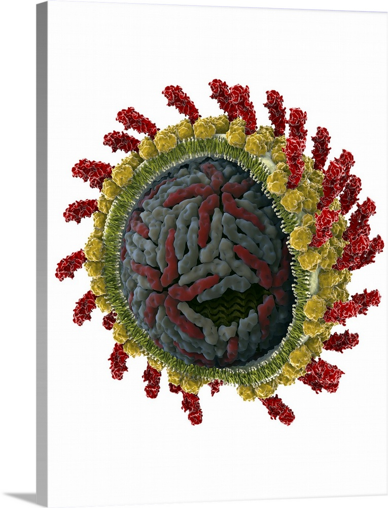 Large Solid-Faced Canvas Print Wall Art Print 30 x 40 entitled Hepatitis C virus, molecular model Solid-Faced Canvas Print entitled Hepatitis C virus, molecular model.  Hepatitis C virus. Cut-away molecular model of a hepatitis C virus particle virion. The virus consists of a core of RNA ribonucleic acid enclosed in a capsid red and grey, and surrounding by a glycoprotein envelope green and white. Inserted in the envelope are surface proteins red and yellow, which help the virus attach to its host cell. The hepatitis C virus infects liver cells causing an inflammatory disease that can lead to degeneration and scarring cirrhosis. It is transmitted by blood-to-blood contact. There is no vaccine for hepatitis C.  Multiple sizes available.  Primary colors within this image include Dark Red, Dark Yellow, Black, White.  Made in the USA.  All products come with a 365 day workmanship guarantee.  Archival-quality UV-resistant inks.  Canvas is handcrafted and made-to-order in the United States using high quality artist-grade canvas.  Canvas depth is 1.25 and includes a finished backing with pre-installed hanging hardware.