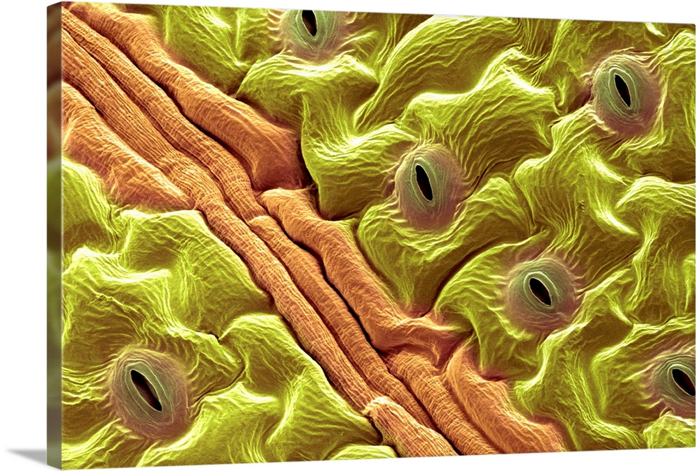 Large Solid-Faced Canvas Print Wall Art Print 30 x 20 entitled Leaf pores, SEM Solid-Faced Canvas Print entitled Leaf pores, SEM.  Leaf pores. Coloured scanning electron micrograph SEM of stomata holes on the surface of a leaf. These structures perform a similar function to the pores in human skin, allowing water to pass out of the leaf. They also act like lungs, allowing carbon dioxide and oxygen found in air to pass into and out of the leaf. The stomata can be opened and closed depending on the conditions and the need to retain water. Water and carbon dioxide are combined in photosynthesis to produce sugars transported around the plant in veins, one seen, brown and oxygen released via the stoma. This is a coriander plant leaf Coriandrum sativum. Magnification x465 when printed 10cm wide.  Multiple sizes available.  Primary colors within this image include Brown, Dark Yellow, Light Yellow, Black.  Made in the USA.  All products come with a 365 day workmanship guarantee.  Inks used are latex-based and designed to last.  Canvas is handcrafted and made-to-order in the United States using high quality artist-grade canvas.  Canvas depth is 1.25 and includes a finished backing with pre-installed hanging hardware.