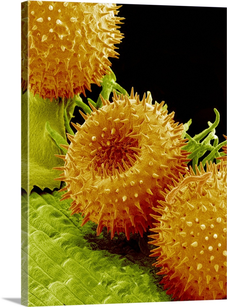 Large Solid-Faced Canvas Print Wall Art Print 30 x 40 entitled Pollination Solid-Faced Canvas Print entitled Pollination.  Pollination. Coloured scanning electron micrograph SEM of pollen grains orange on the stigmas tips of the green projections of a flower. Together with the ovary not seen, which holds the eggs, and the style, the projection between the stigma and ovary, the stigma forms the female reproductive organ pistil. Eventually, pollen tubes emerge from the grains. The pollen tubes contain the male gametes sex cells. They grow down the style and into the ovary, where the tips of the pollen tubes rupture, releasing the gametes to fertilize the ovule female sex cell and produce seeds.  Multiple sizes available.  Primary colors within this image include Dark Red, Brown, Dark Yellow, Black.  Made in the USA.  All products come with a 365 day workmanship guarantee.  Archival-quality UV-resistant inks.  Archival inks prevent fading and preserve as much fine detail as possible with no over-saturation or color shifting.  Canvas depth is 1.25 and includes a finished backing with pre-installed hanging hardware.