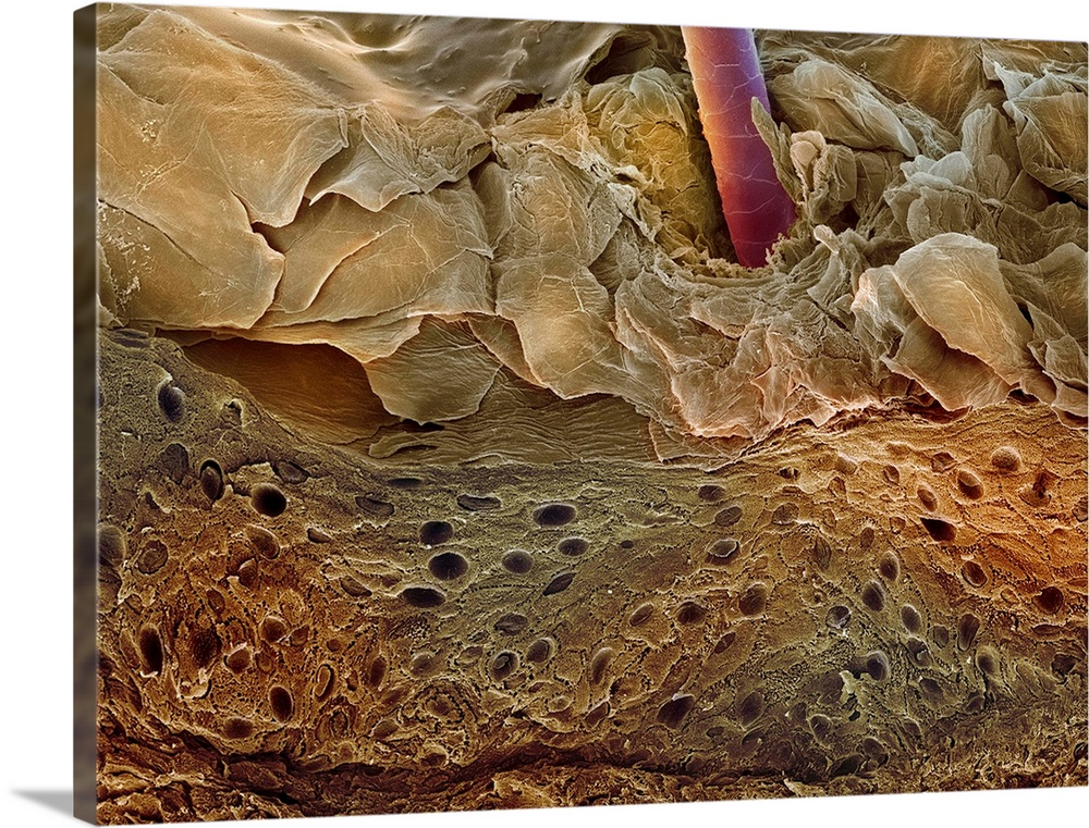 Large Solid-Faced Canvas Print Wall Art Print 40 x 30 entitled Skin section, SEM Solid-Faced Canvas Print entitled Skin section, SEM.  Skin section. Coloured scanning electron micrograph SEM of a section through human skin. A hair red is protruding through the surface. The top layer of the epidermis is the stratum corneum cornified layer, light brown. It is comprised of dead, keratinised flattened skin cells, which are continuously sloughed off and replaced with new cells from below. The living layer of the epidermis dark brown is called the Malpighian layer. This layer contains cells called melanocytes, which produce the pigment melanin. This pigment darkens the skin when it is exposed to sunlight, producing a suntan. Magnification x55 when printed 10 centimetres wide.  Multiple sizes available.  Primary colors within this image include Brown, Silver, Muted Blue.  Made in the USA.  Satisfaction guaranteed.  Archival-quality UV-resistant inks.  Featuring a proprietary design, our canvases produce the tightest corners without any bubbles, ripples, or bumps and will not warp or sag over time.  Canvas depth is 1.25 and includes a finished backing with pre-installed hanging hardware.