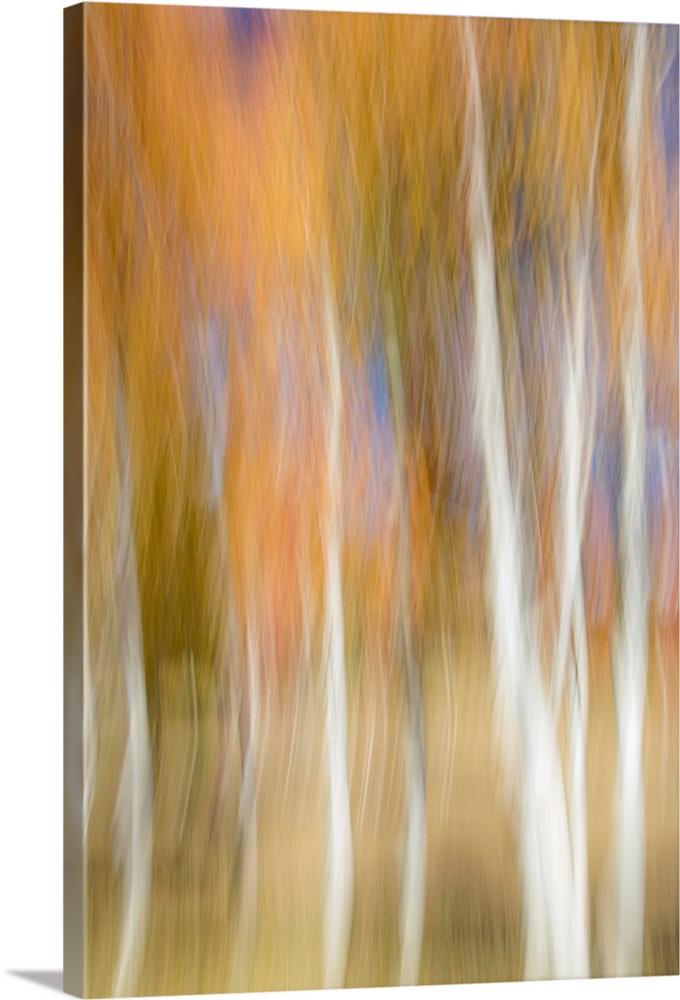 Large Solid-Faced Canvas Print Wall Art Print 20 x 30 entitled Aspen trees and fall color foliage with camera blur movement Solid-Faced Canvas Print entitled Aspen trees and fall color foliage with camera blur movement.  Multiple sizes available.  Primary colors within this image include Brown, Peach, Black, Gray.  Made in USA.  All products come with a 365 day workmanship guarantee.  Inks used are latex-based and designed to last.  Featuring a proprietary design, our canvases produce the tightest corners without any bubbles, ripples, or bumps and will not warp or sag over time.  Canvas is handcrafted and made-to-order in the United States using high quality artist-grade canvas.