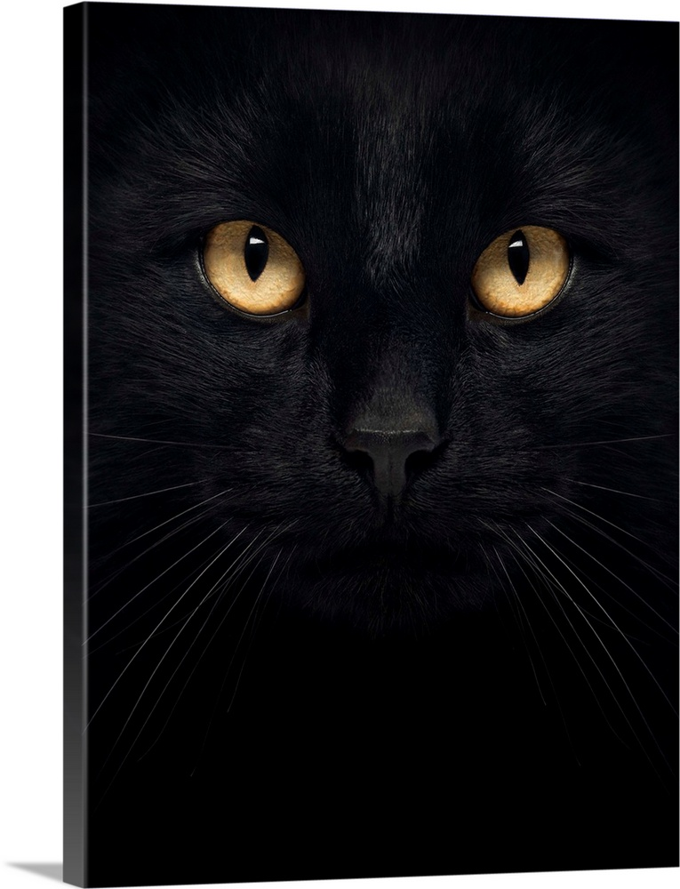 Large Solid-Faced Canvas Print Wall Art Print 30 x 40 entitled Black Cat Face Solid-Faced Canvas Print entitled Black Cat Face.  Close-up of a Black Cat looking at the camera, isolated on white.  Multiple sizes available.  Primary colors within this image include Peach, Black, Dark Forest Green.  Made in the USA.  All products come with a 365 day workmanship guarantee.  Inks used are latex-based and designed to last.  Featuring a proprietary design, our canvases produce the tightest corners without any bubbles, ripples, or bumps and will not warp or sag over time.  Archival inks prevent fading and preserve as much fine detail as possible with no over-saturation or color shifting.