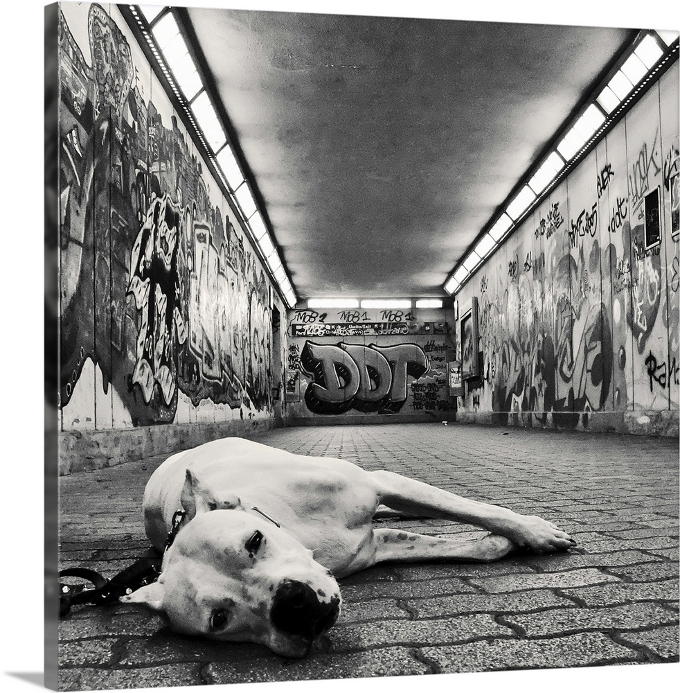 Large Gallery-Wrapped Canvas Wall Art Print 16 x 16 entitled A dog looking at the camera with sad but sweet eyes in underg... Gallery-Wrapped Canvas entitled A dog looking at the camera with sad but sweet eyes in underground walkway.  a dog looking at the camera with sad but sweet eyes in an underground walkway covered in graffiti.  Multiple sizes available.  Primary colors within this image include Black Light Gray.  Made in USA.  Satisfaction guaranteed.  Archival-quality UV-resistant inks.  Canvases are stretched across a 1.5 inch thick wooden frame with easy-to-mount hanging hardware.  Canvas frames are built with farmed or reclaimed domestic pine or poplar wood.