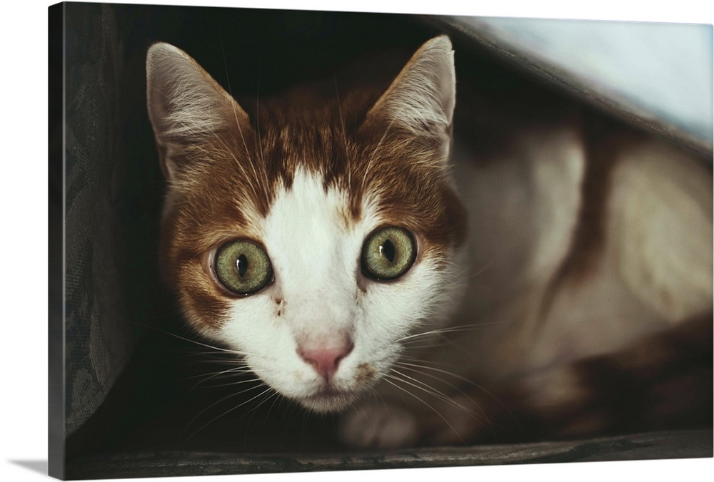Large Solid-Faced Canvas Print Wall Art Print 30 x 20 entitled Big eyed cat Solid-Faced Canvas Print entitled Big eyed cat.  Surprised cat looking into the camera.  Multiple sizes available.  Primary colors within this image include Dark Gray, Gray, Silver.  Made in USA.  Satisfaction guaranteed.  Archival-quality UV-resistant inks.  Canvas depth is 1.25 and includes a finished backing with pre-installed hanging hardware.  Featuring a proprietary design, our canvases produce the tightest corners without any bubbles, ripples, or bumps and will not warp or sag over time.