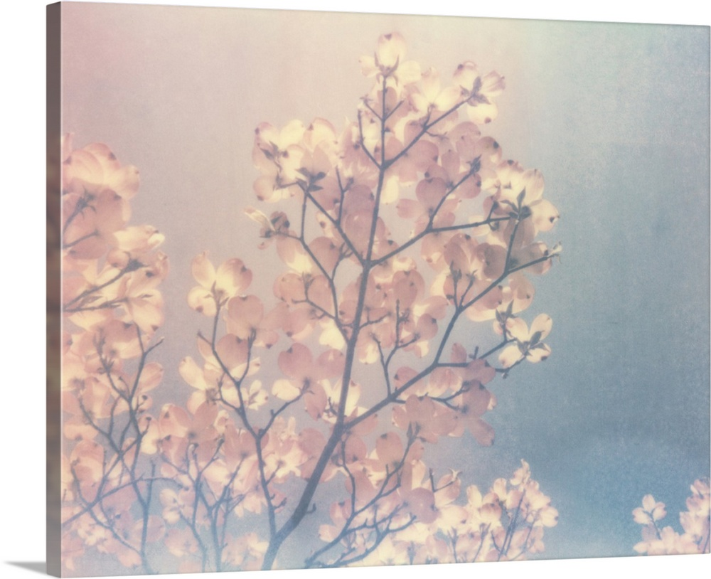 Solid-Faced Canvas Print Wall Art entitled Flowering Dogwood I