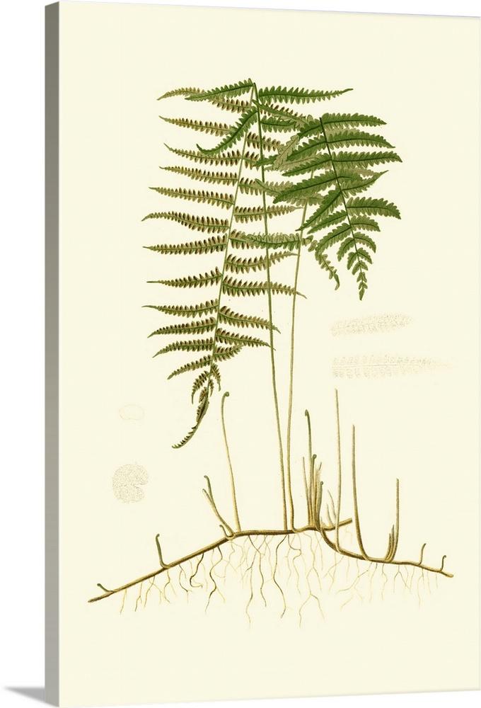 Solid-Faced Canvas drucken wand kunst entitled Spring Ferns III